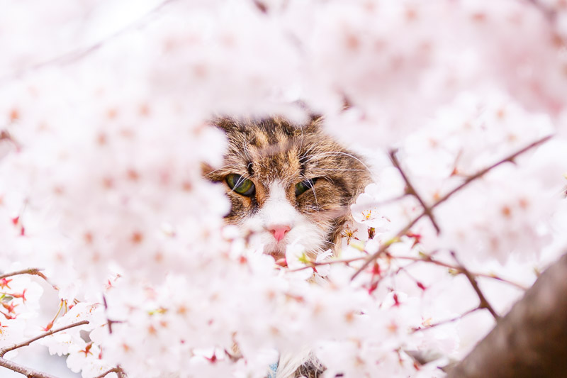japan cherry blossom cat