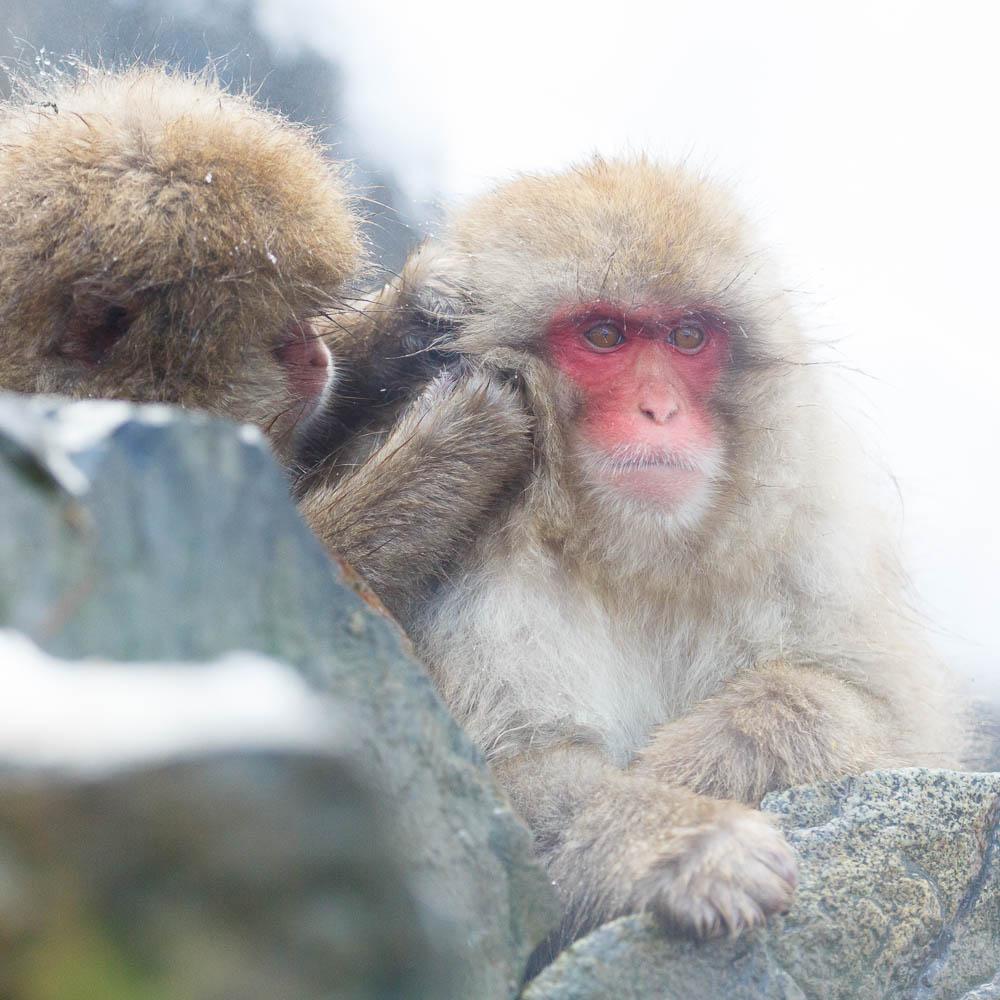 Japan nagano monkey jigokudani