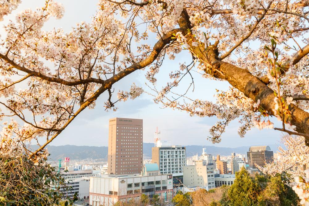 Wakayama spring cherry blossom 10