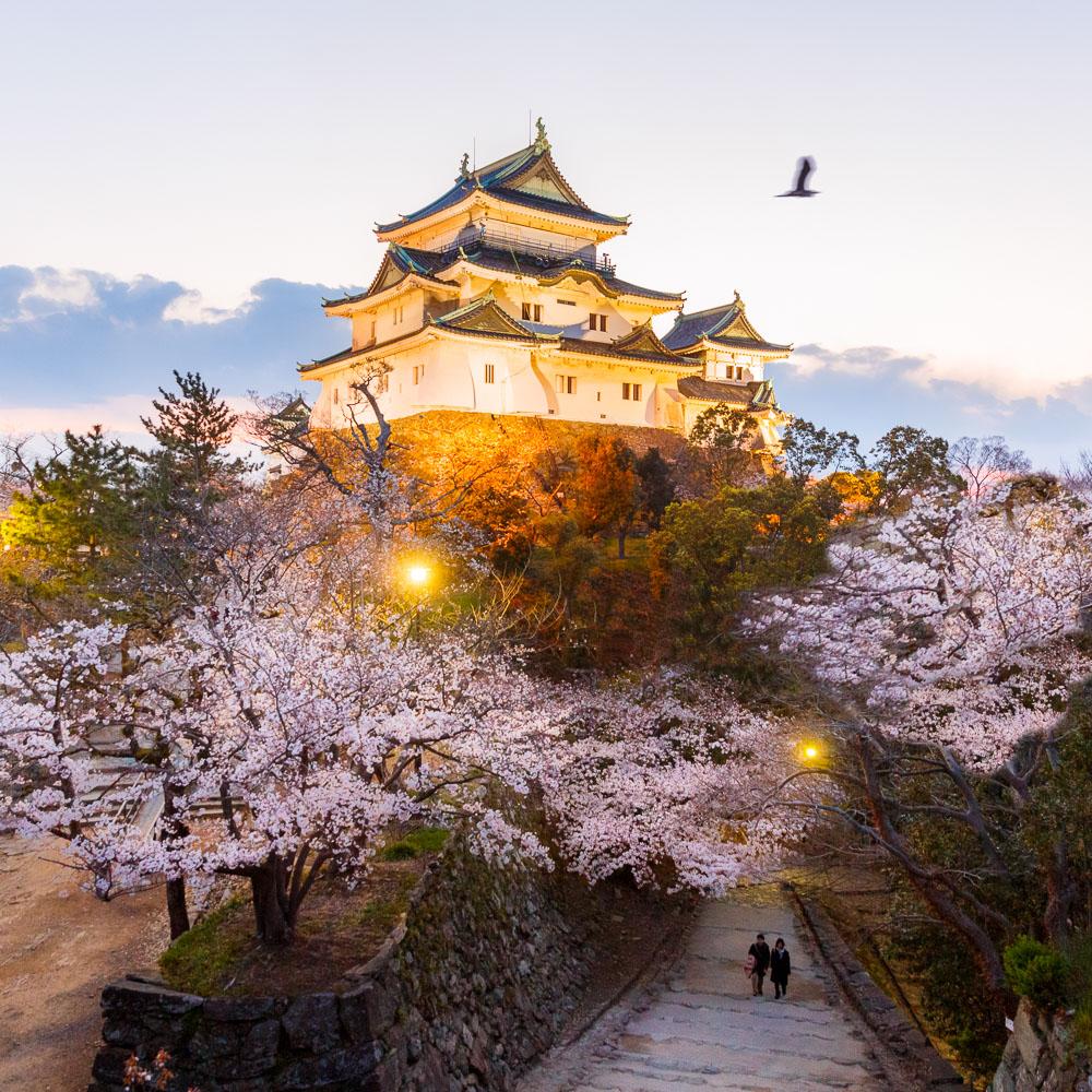 Wakayama spring cherry blossom 14