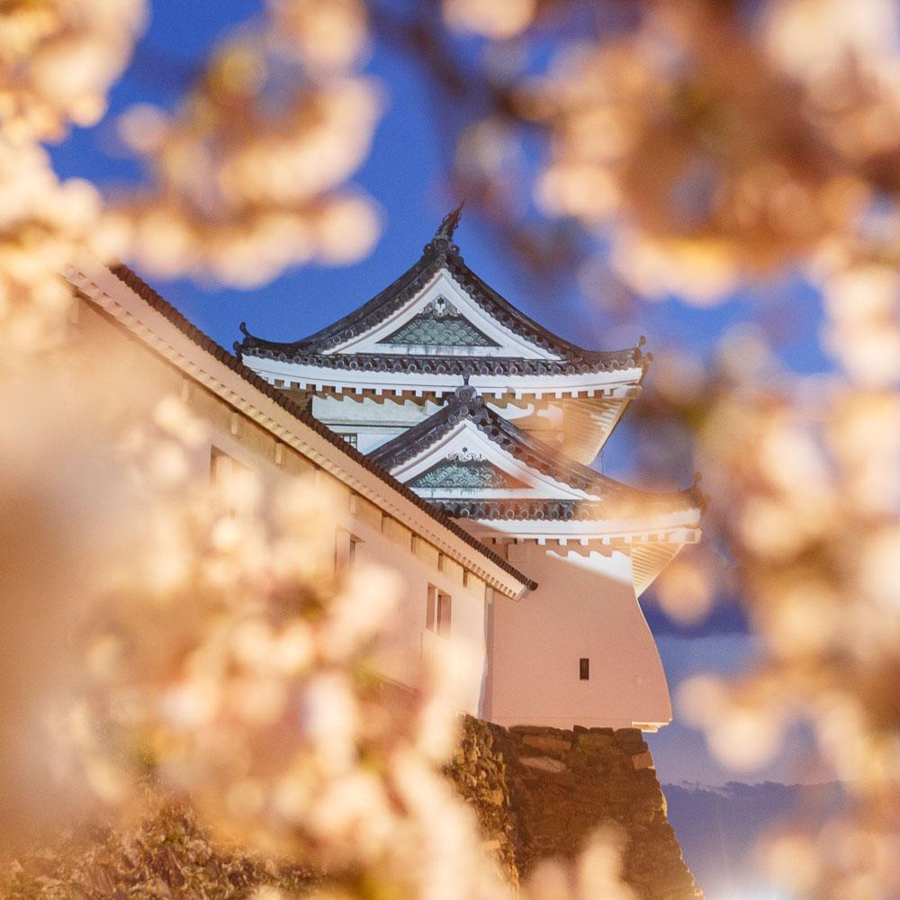 Wakayama spring cherry blossom 30-2