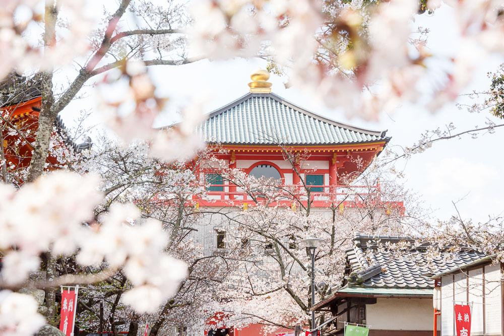 Wakayama spring cherry blossom 34