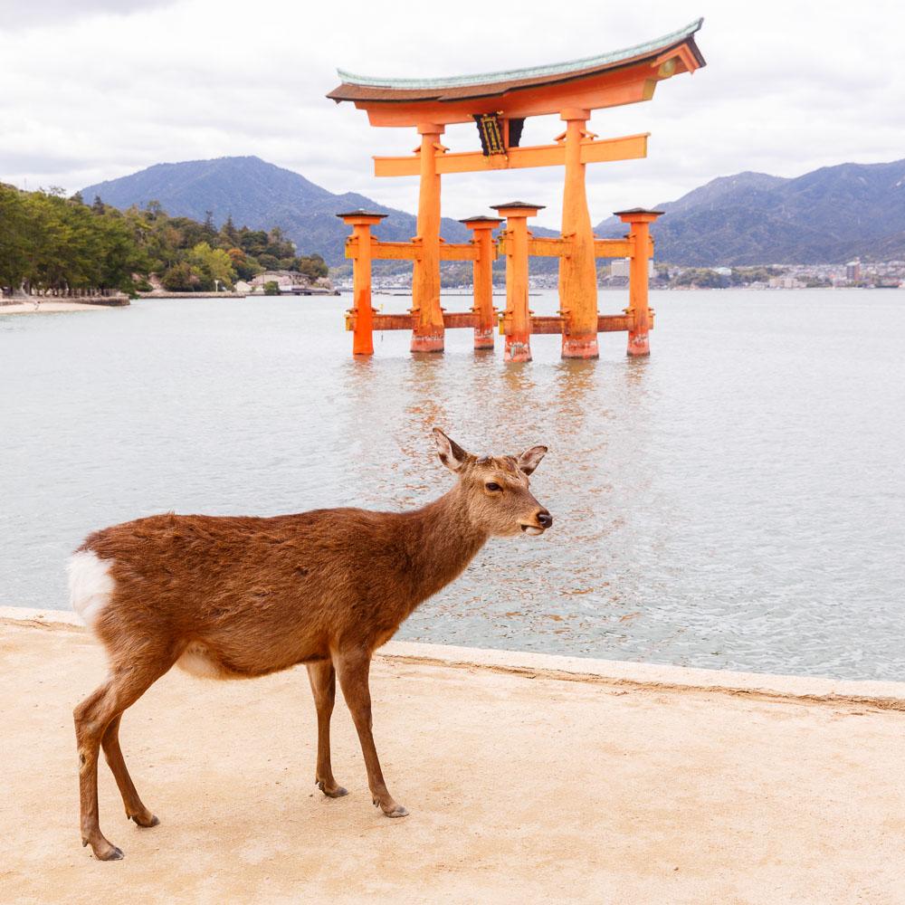 Japan Miyajima deers 03