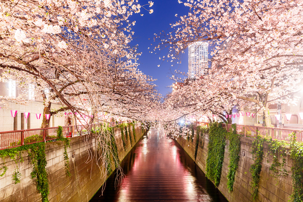 Japan Cherry Blossom Loic Lagarde Meguro River